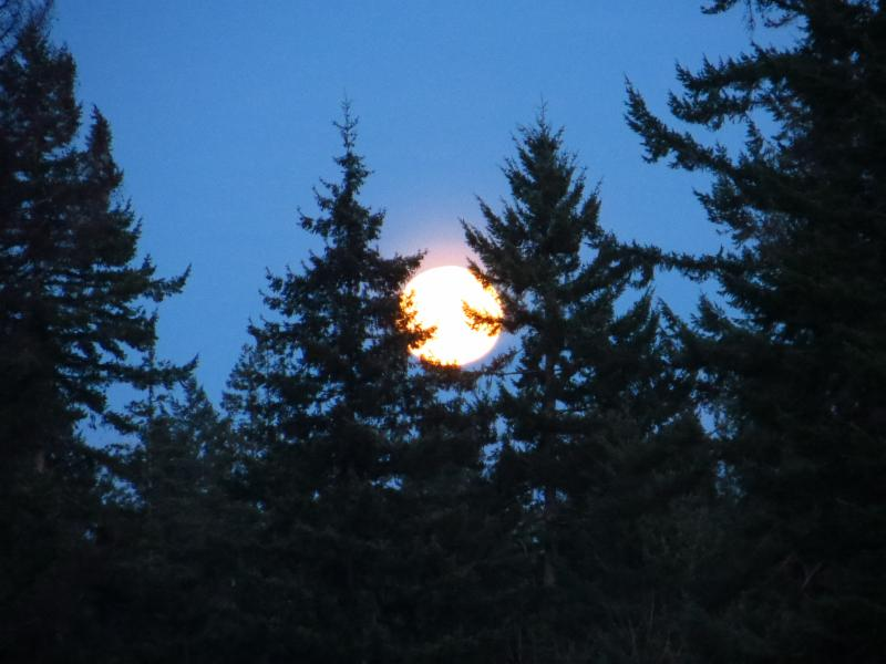 Moon among treetops