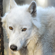 London is one of rescues at Wolf Haven