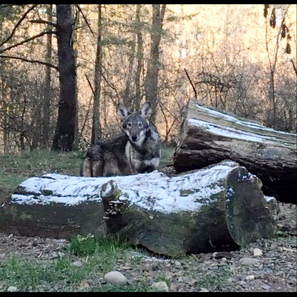 One of red wolves transferred to Wolf Haven