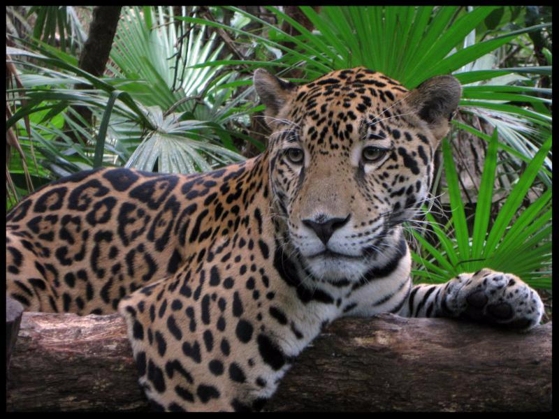 Jaguar_ Woodland Park Zoo_ photo by Chris Montero