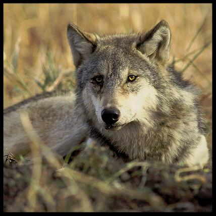 FWS photo of Isle Royale wolf