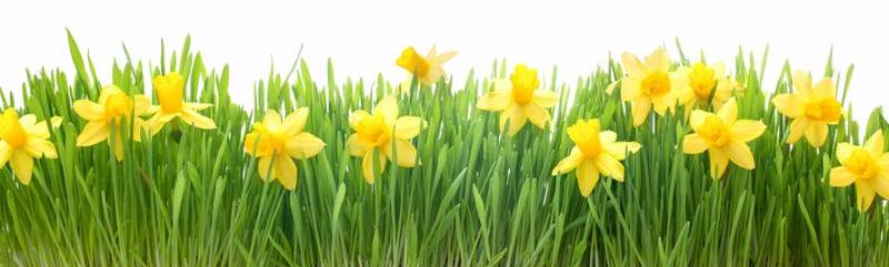 Green grass and spring flowers isolated on white background