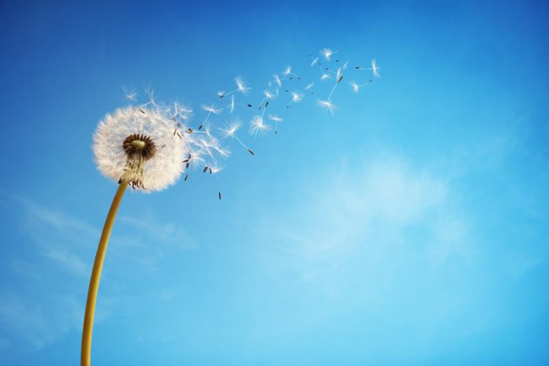 dandelion_seeds_blowing.jpg
