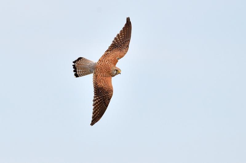falcon flying in natural habitat  falco tinunculus