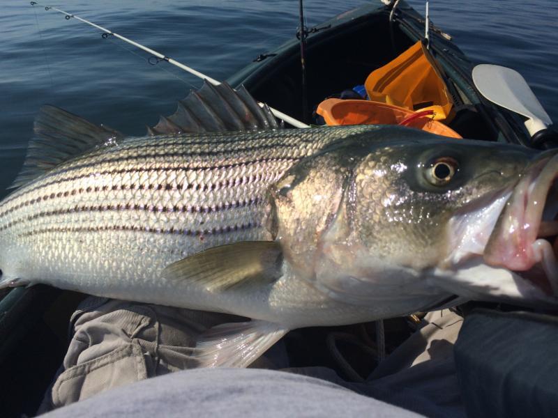 Huge striper caught by kayak fishing for Kayak bass fishing tournaments
