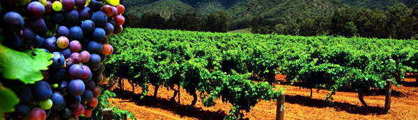 grapes-vineyard-header.jpg