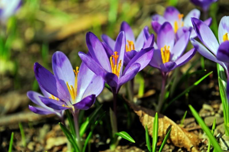 crocus_on_ground.jpg