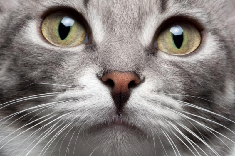 grey_cat_face_closeup.jpg