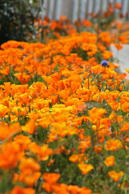 California poppies blooming on the island