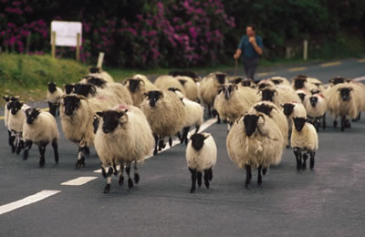 road-travel-sheep.jpg