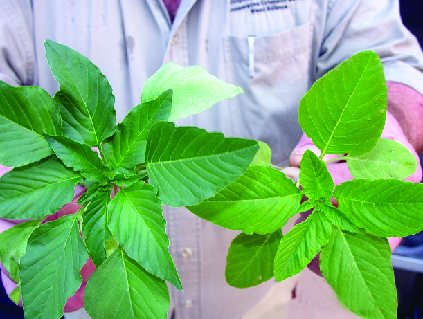 closeup of weed scientist holding pigweed from test plots _UofA System Division of Agriculture photo_