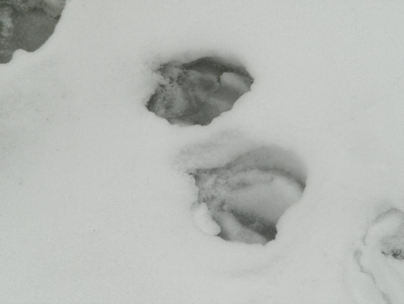 Duck snow footprints