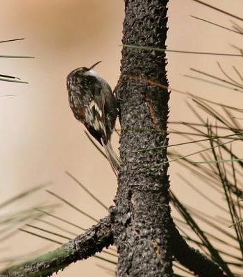 Brown Creeper - RS
