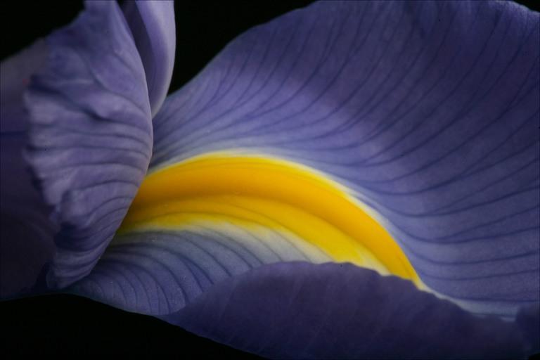 Beautiful iris close up