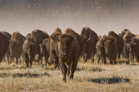 buffalo roundup SD Tourism