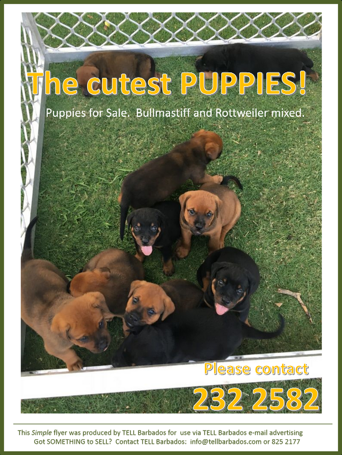 puppies for sale bullmastiff and rottweiler mixed