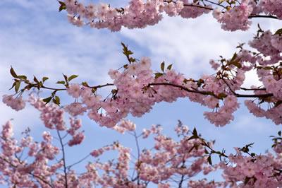 pink-blossoms-tree.jpg