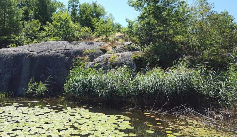 Phragmites w rocks