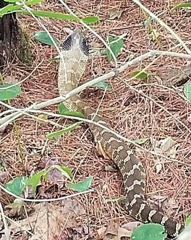 Eastern Hognose Snake long