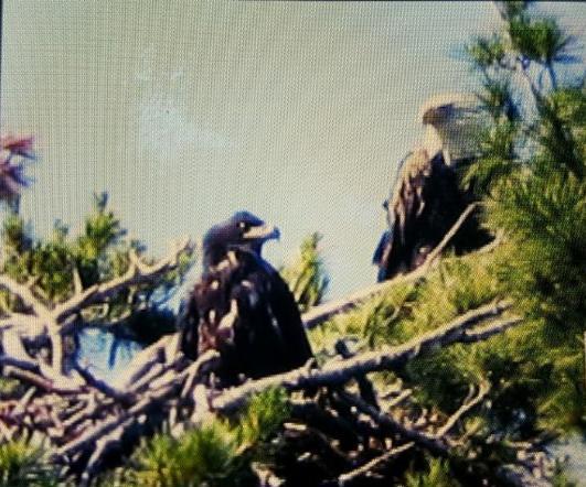 Eaglet July 18