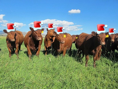 Christmas Cattle