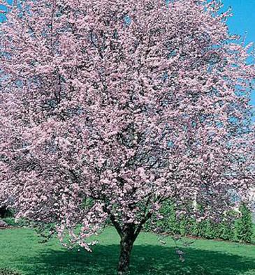 KV Plum in bloom