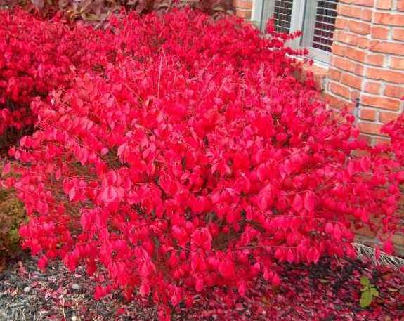 burning bush fall color 2
