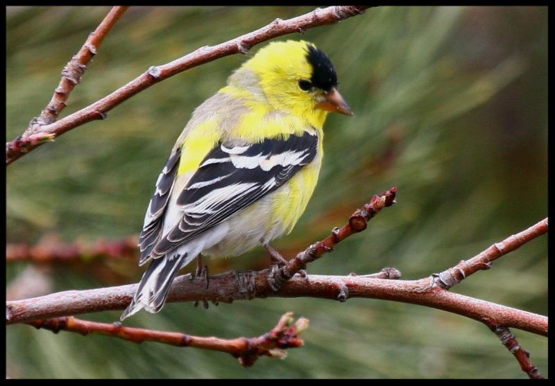 Goldfinch Jacque Lowery
