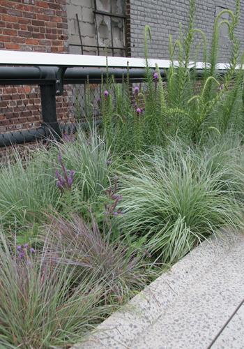 Little Bluestem on the High Line