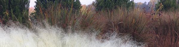 Grasses at Hoffman Nursery