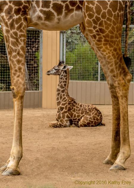 Day-old Giraffe photo