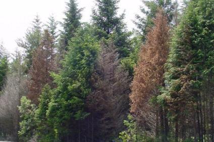 Dying Port-Orford-cedar