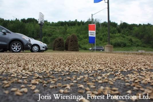 Spruce budworm outbreak
