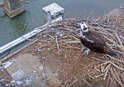 Osprey nest in March 2018