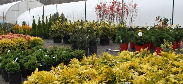 Container evergreens for seasonal interest