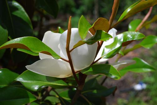 Southern Magnolia flower and foliage