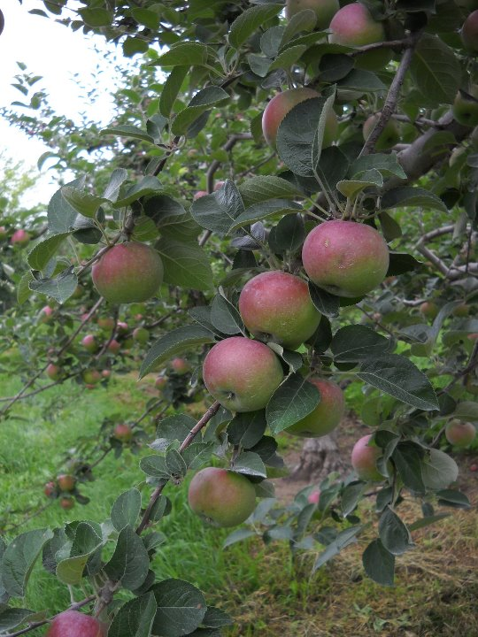 Windy Hill apple