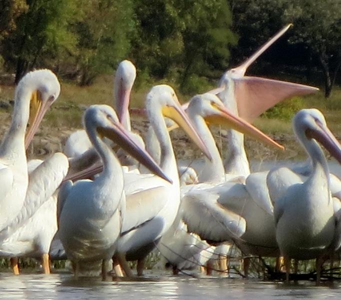 Pelicans Open Wide Coralville Lois Albrecht