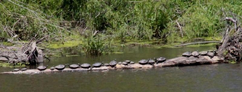 Turtles Palo 160515 G.Stark