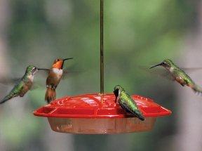 Hummingbirds at a feeder
