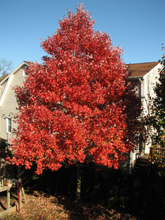 October Glory Maple tree with fall color