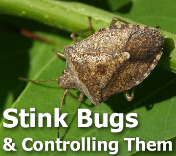 Picture of a stink bug with text - Stink Bugs and Controlling Them