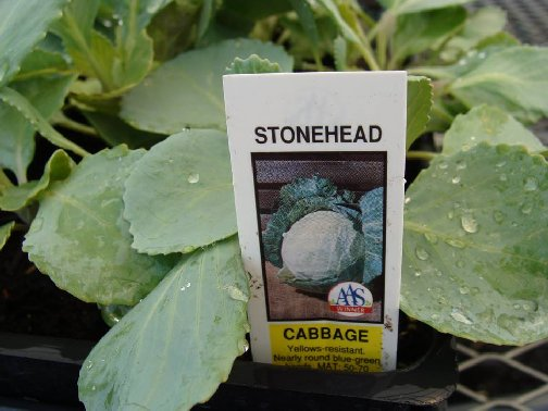 Stonehead cabbage starter plants with the tag at Hillermann Nursery and Florist