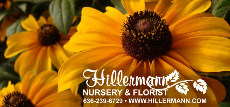 Black Eyed Susan Blooms with Hillermann logo and store information - Hillermann Nursery and Florist, 636-239-6729, www.hillermann.com