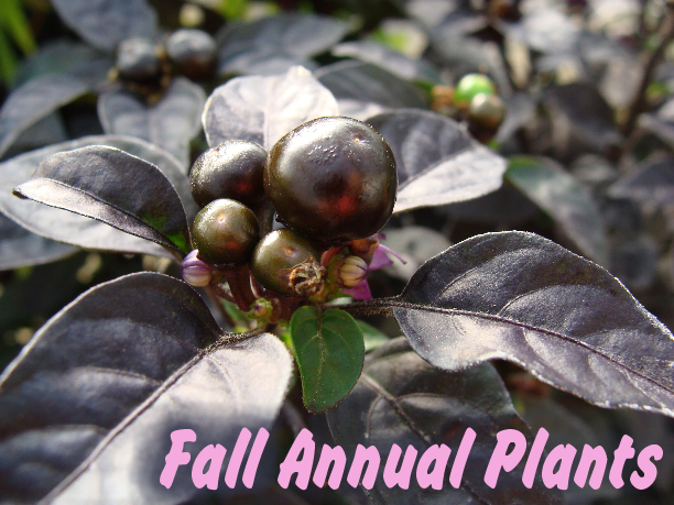 Ornamental Pepper plant available at Hillermann Nursery and Florist