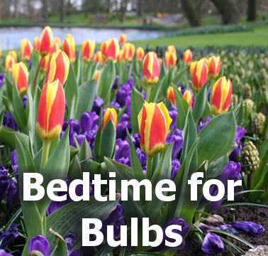 Bedtime for Bulbs - title block with a picture of blooming flower bulbs