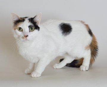 Adoptable cat Aruba from Franklin County Humane Society