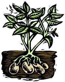 Potato Plant Line Art