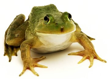 Picture of a frog