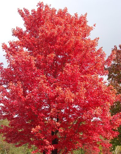 Beautiful fall color on a Autumn Blaze Maple Tree at Hillermann Nursery and Florist